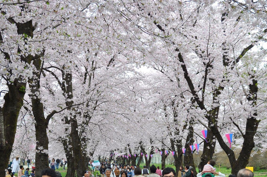 日本櫻花名所百選之一的櫻花隧道