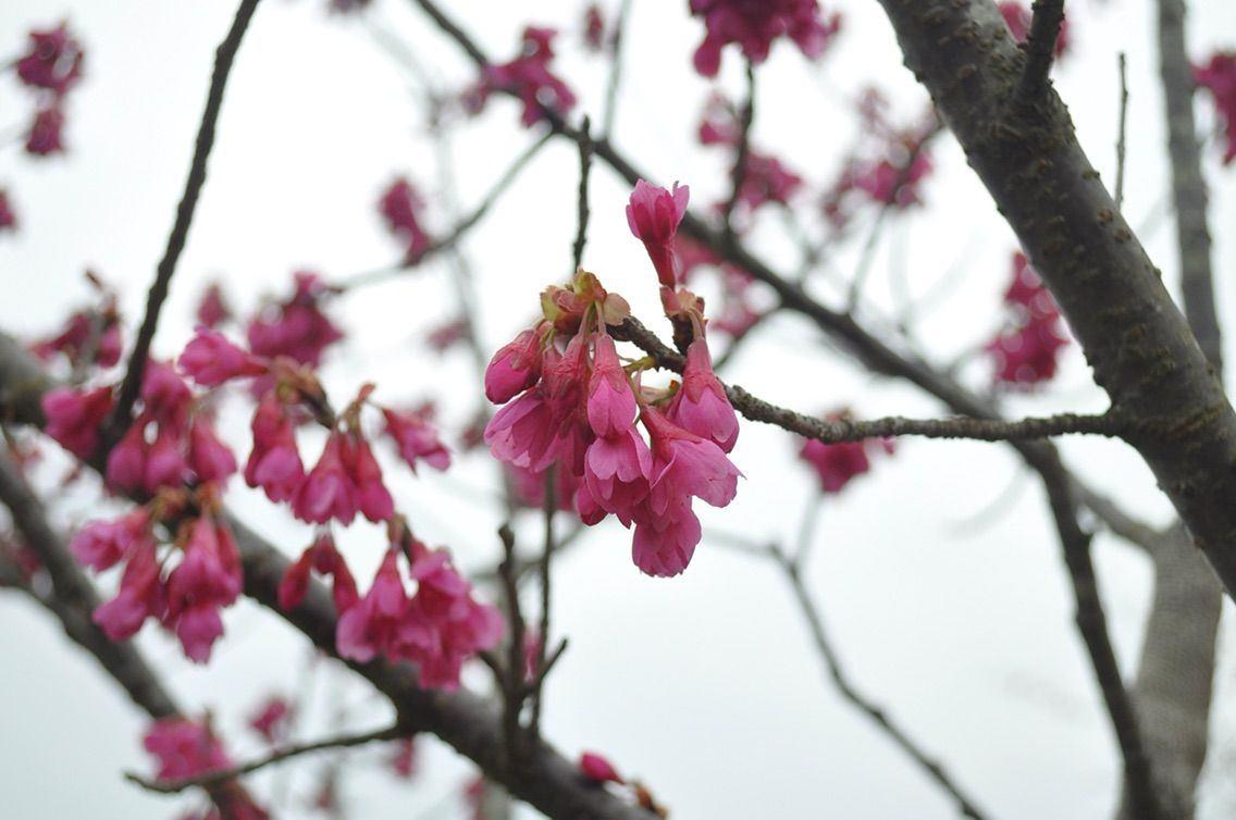 宫城千本樱森林之樱花