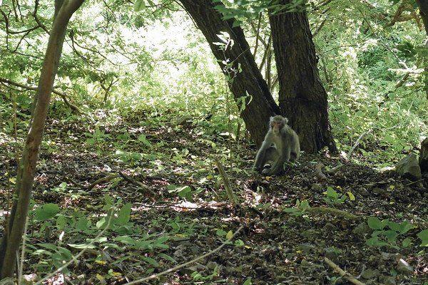 野生的日本獼猴