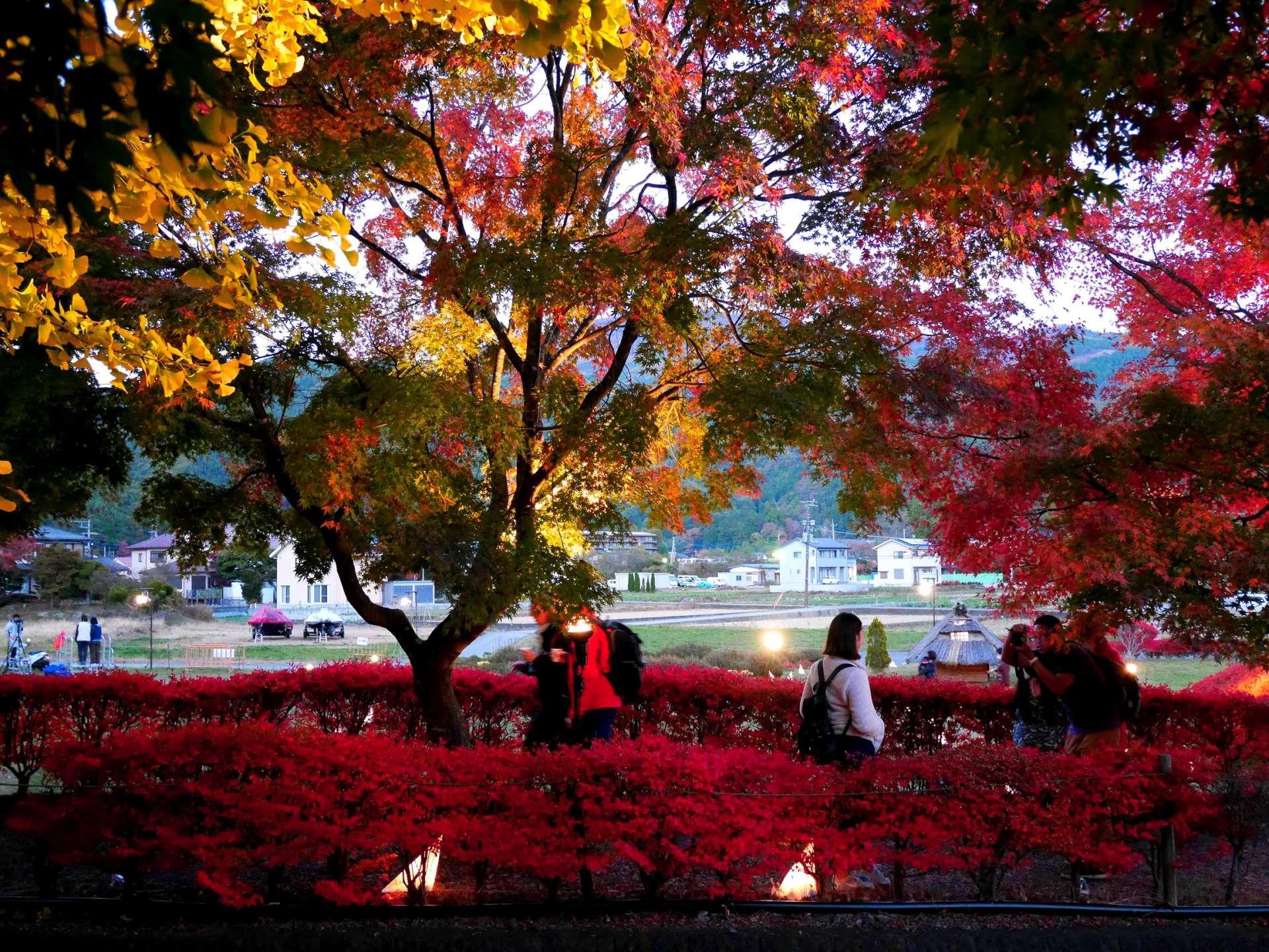 傍晚的楓葉迴廊