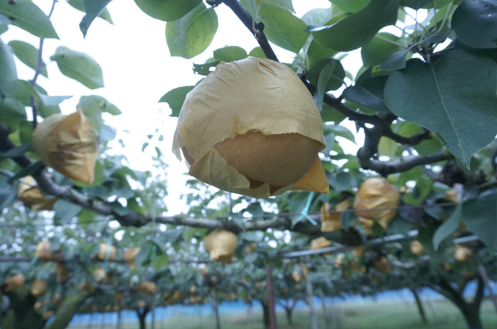 小心翼翼地将梨子一颗颗用专用袋包好