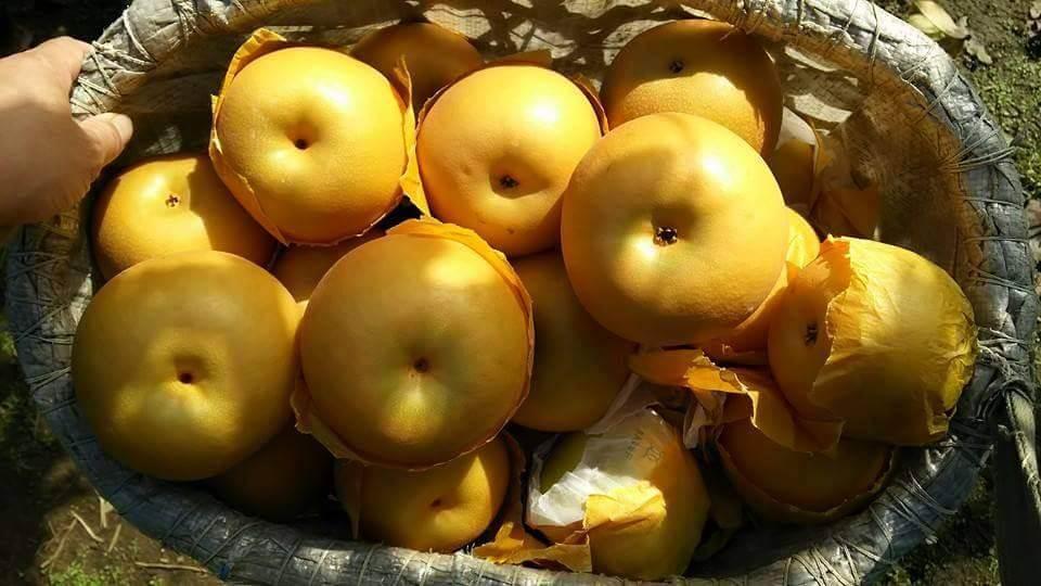 川清园梨园的梨