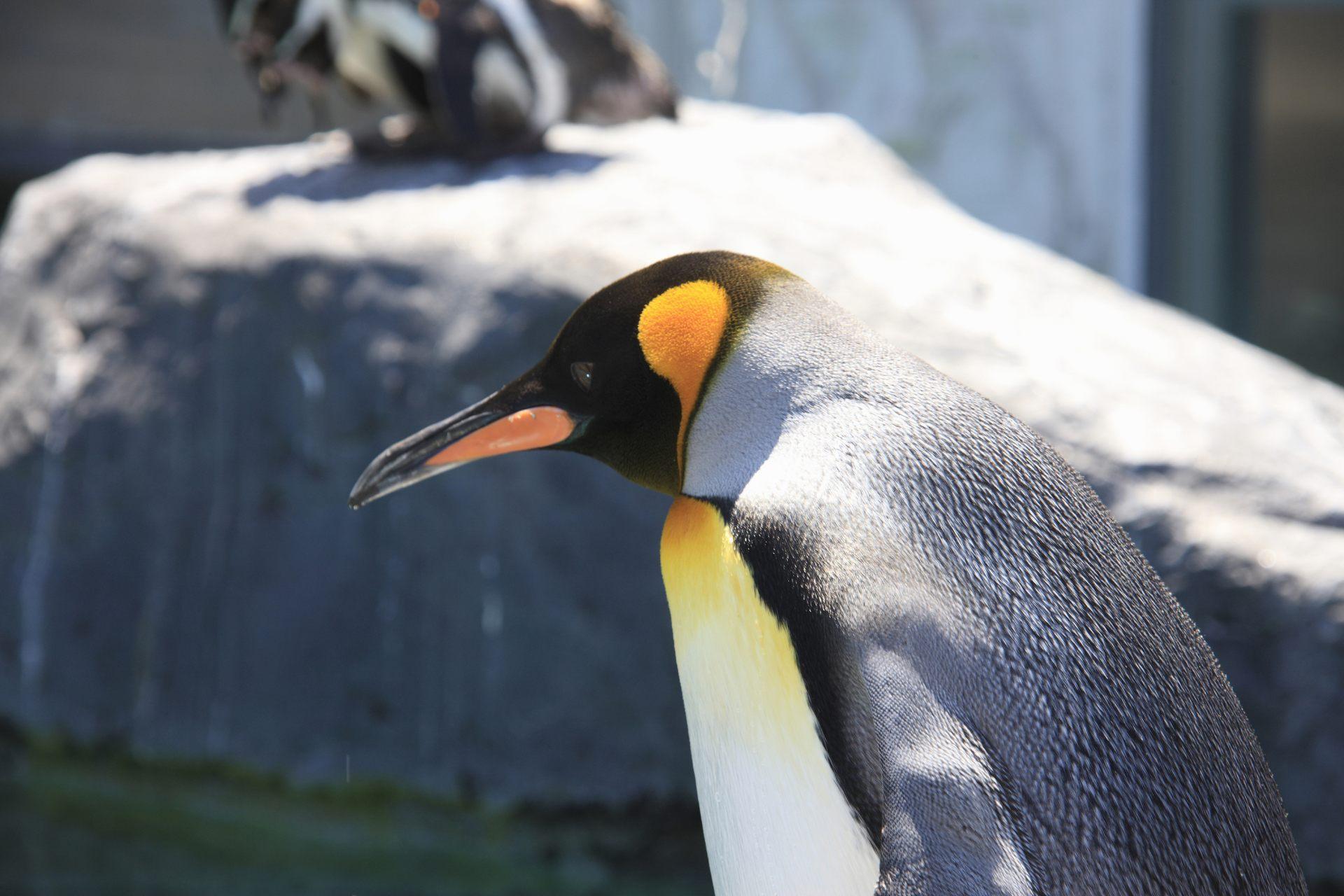 Asahiyama Zoo, Asahikawa-shi, Penguin]