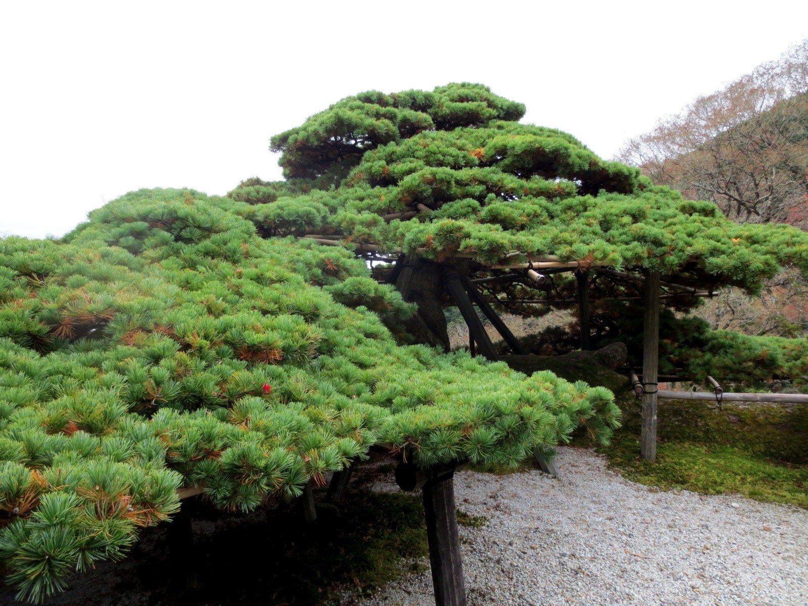 """被大家公认为""""日本第一的松树"""" 游龙之松"""