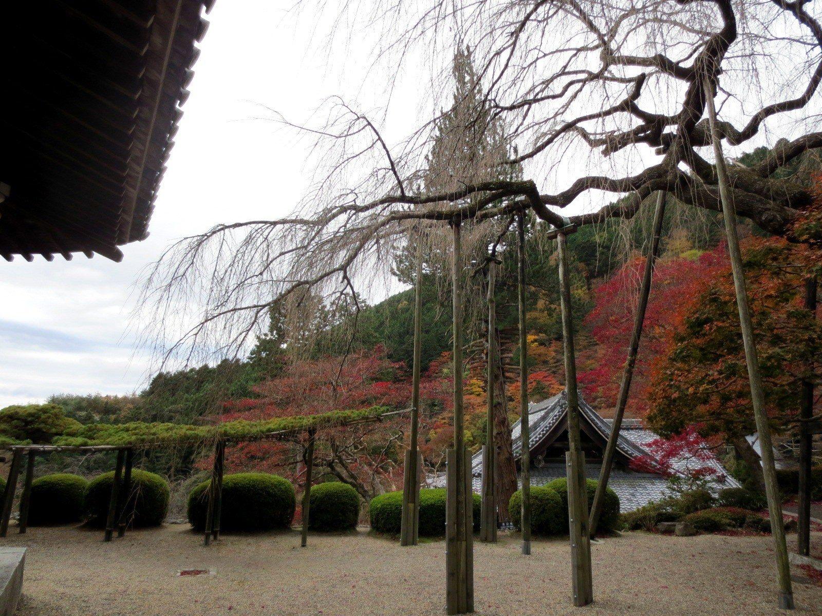 桂昌院内有种植枝垂樱