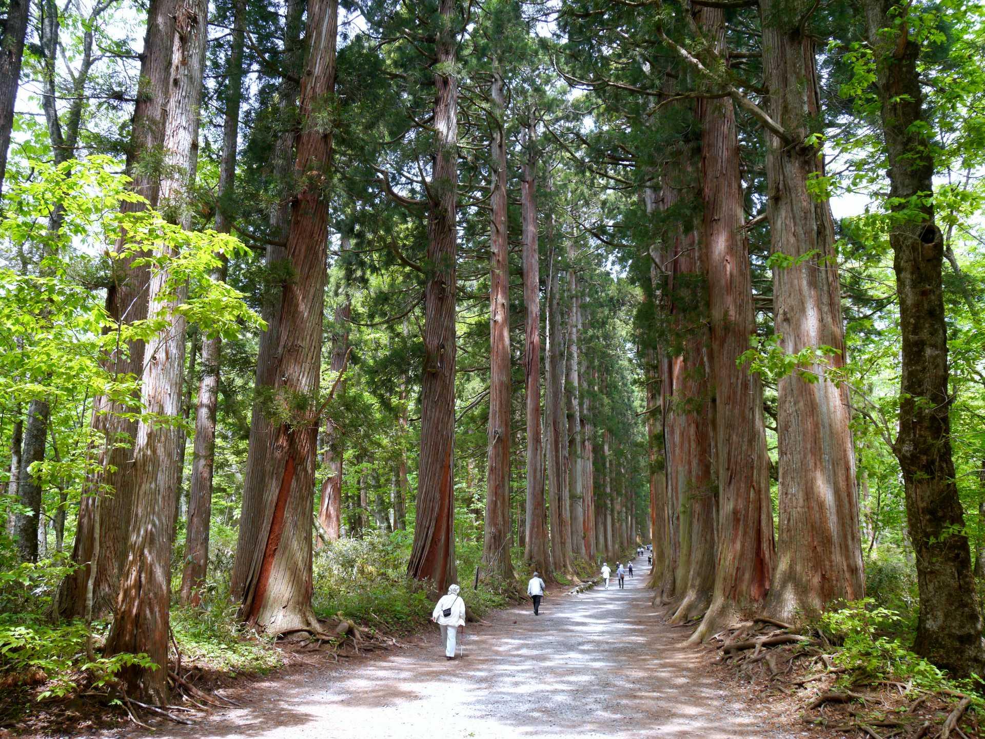 Shrine, Cedar Trees, Natural Monument, Oku-sha Approach, Trees