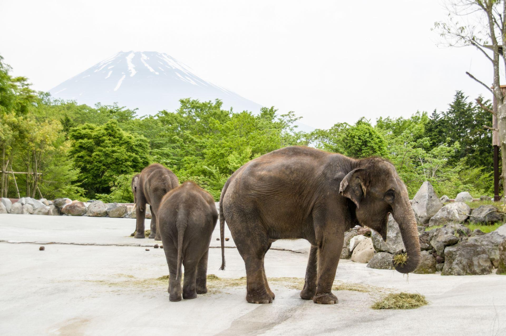 富士野生動物園、動物園、大象、富士山