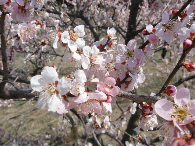 進入「偕樂園梅花祭」會場