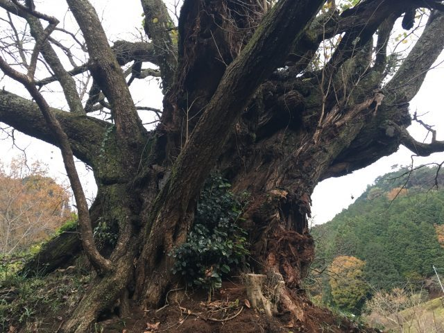 樹齡超過900年的櫻花樹