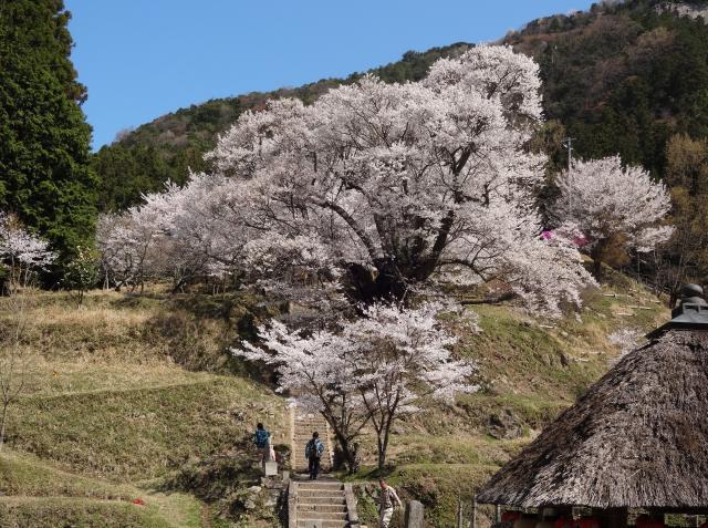 奈良縣櫻花必看景點【佛隆寺】,巨大千年櫻。