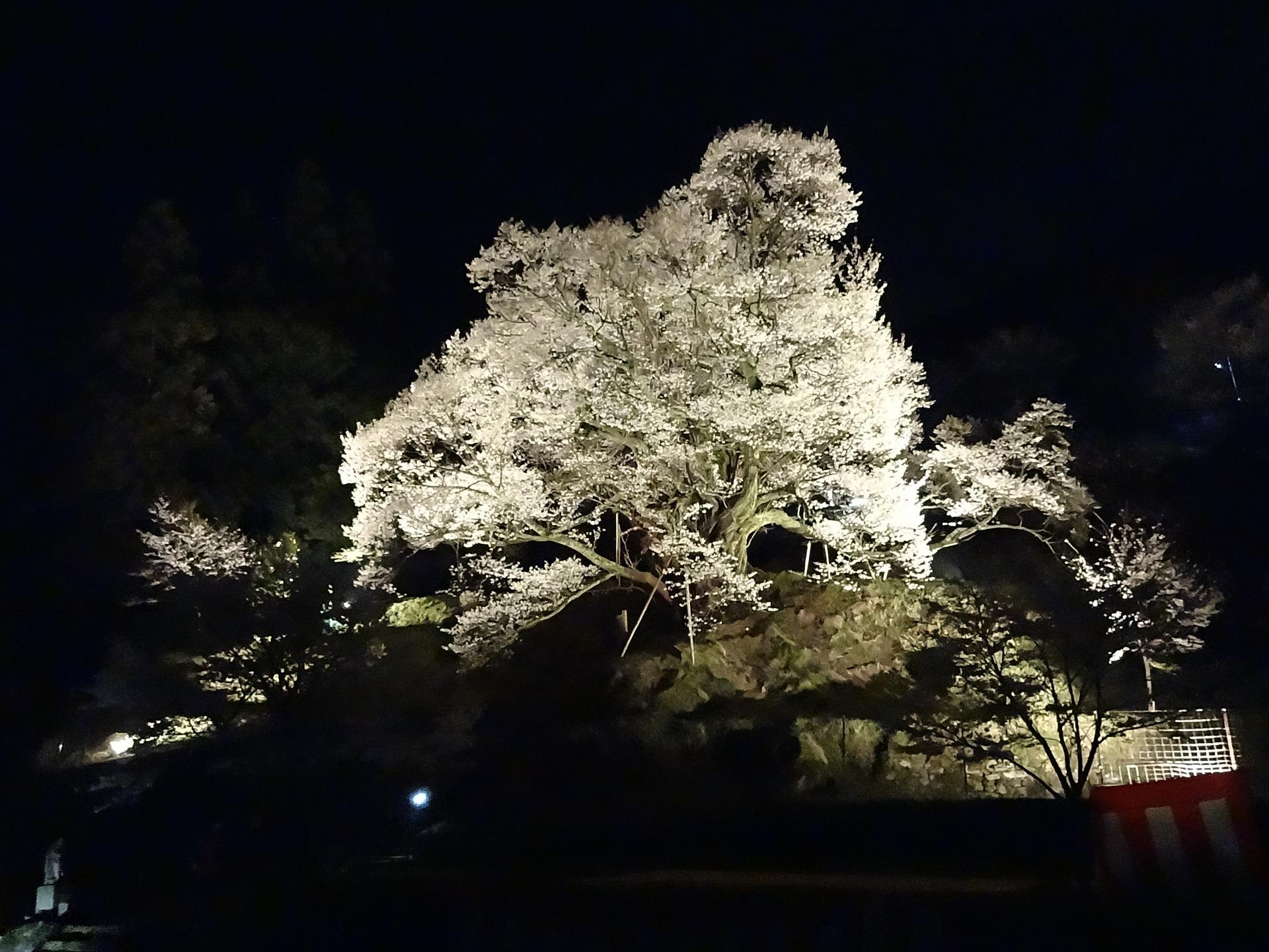 夜晚的千年櫻