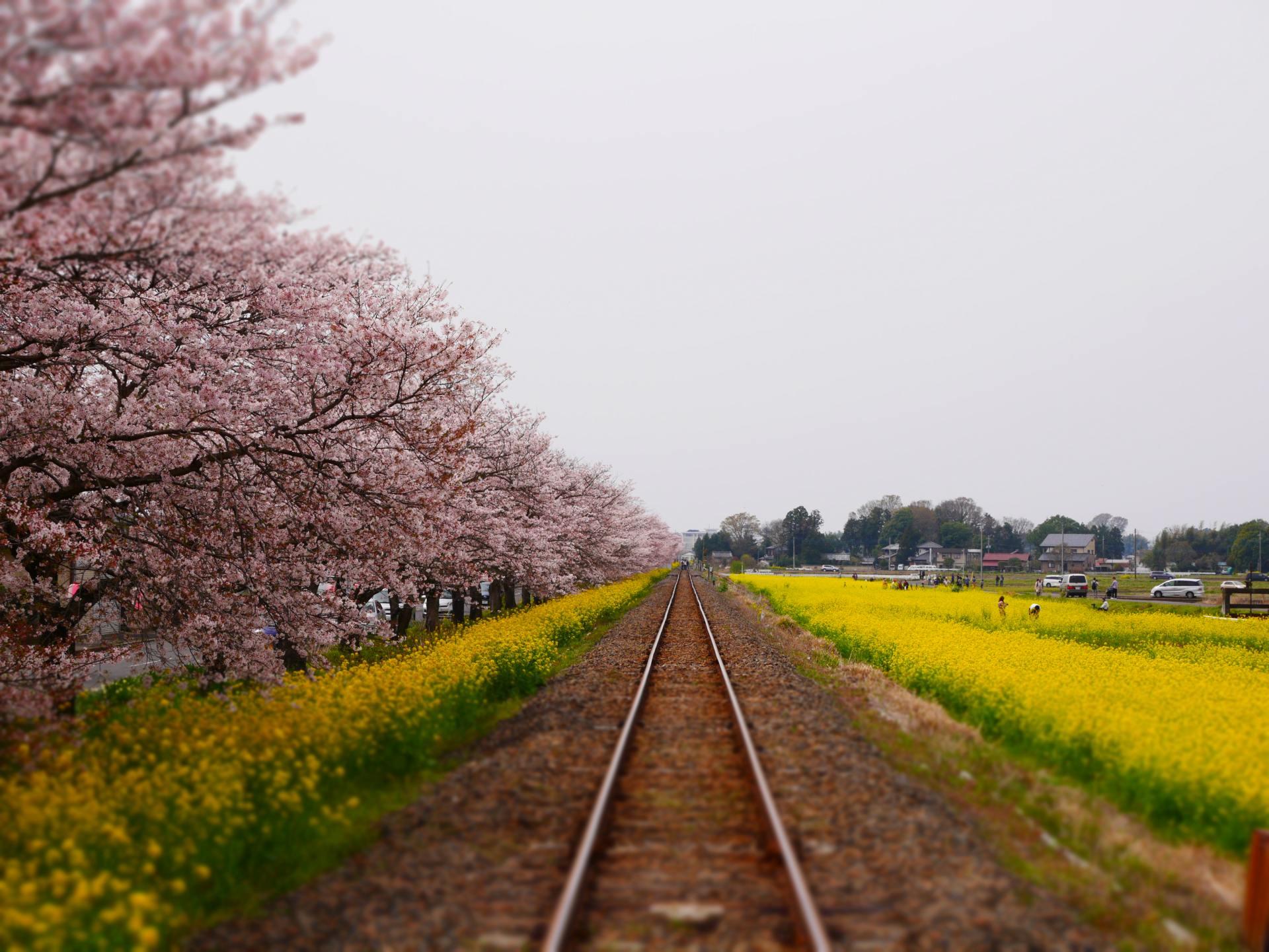 櫻花與油菜花的爭相競演