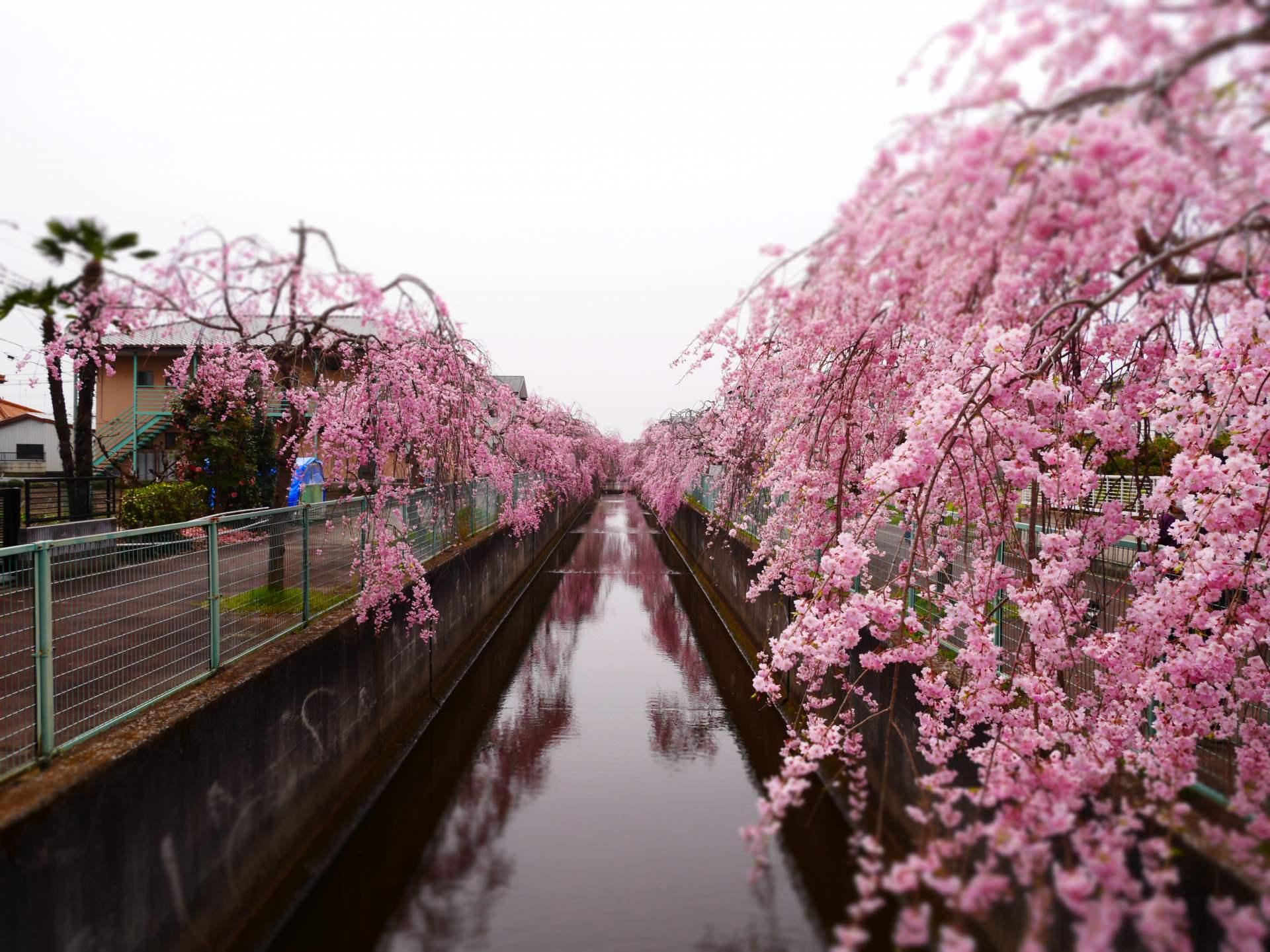 櫻川的枝垂櫻