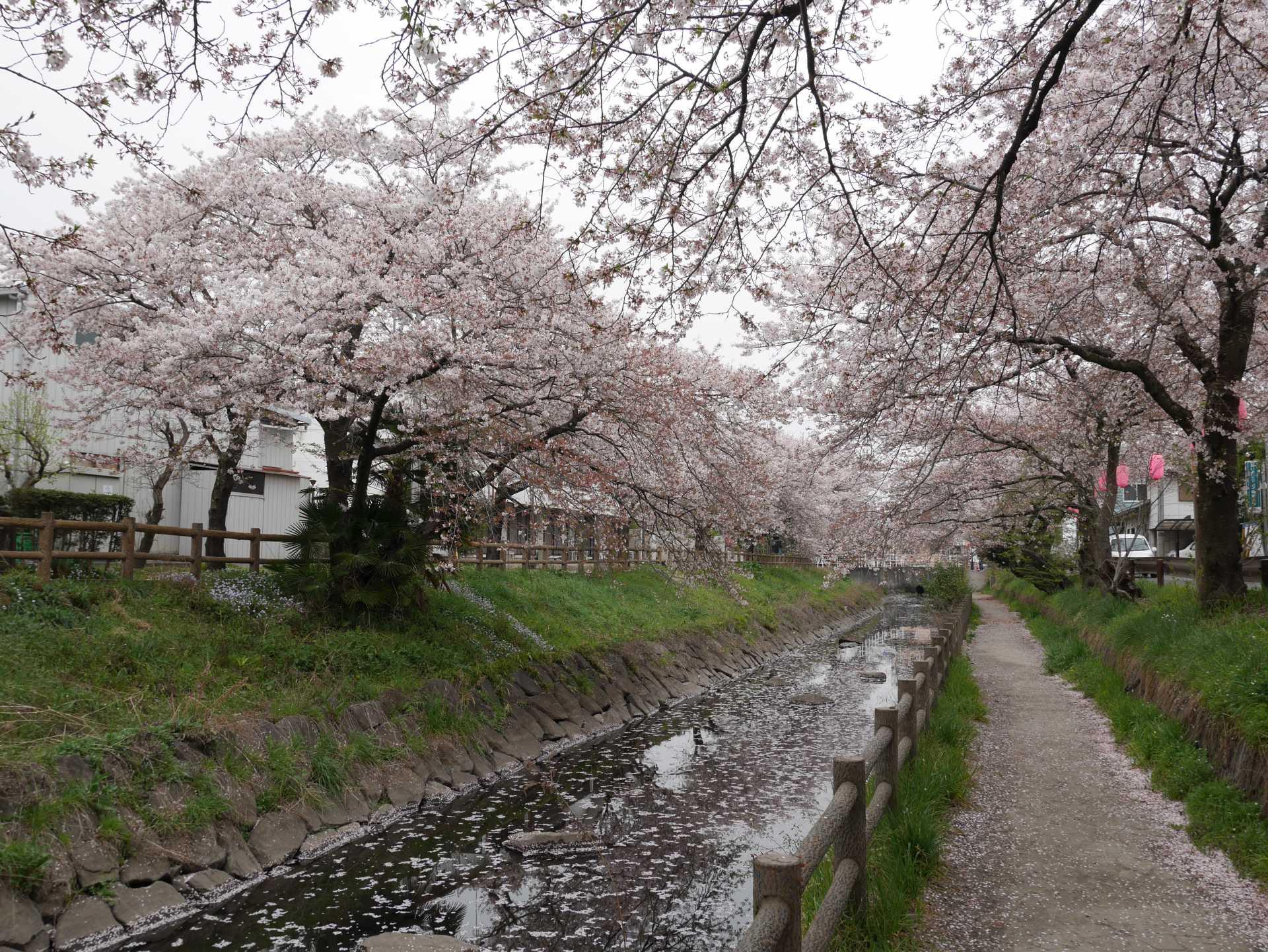 行屋川櫻花祭會場