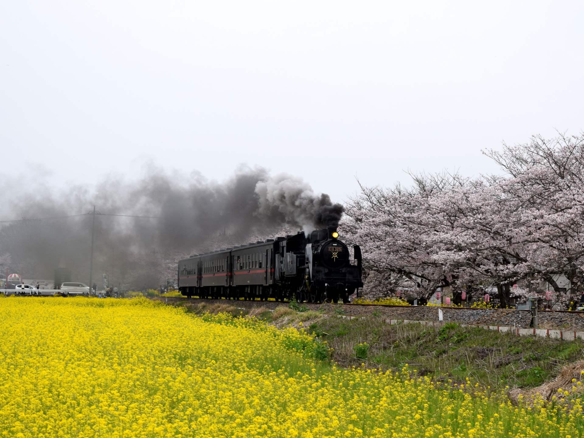晴天×油菜花田×滿開的櫻花×SL蒸汽火車