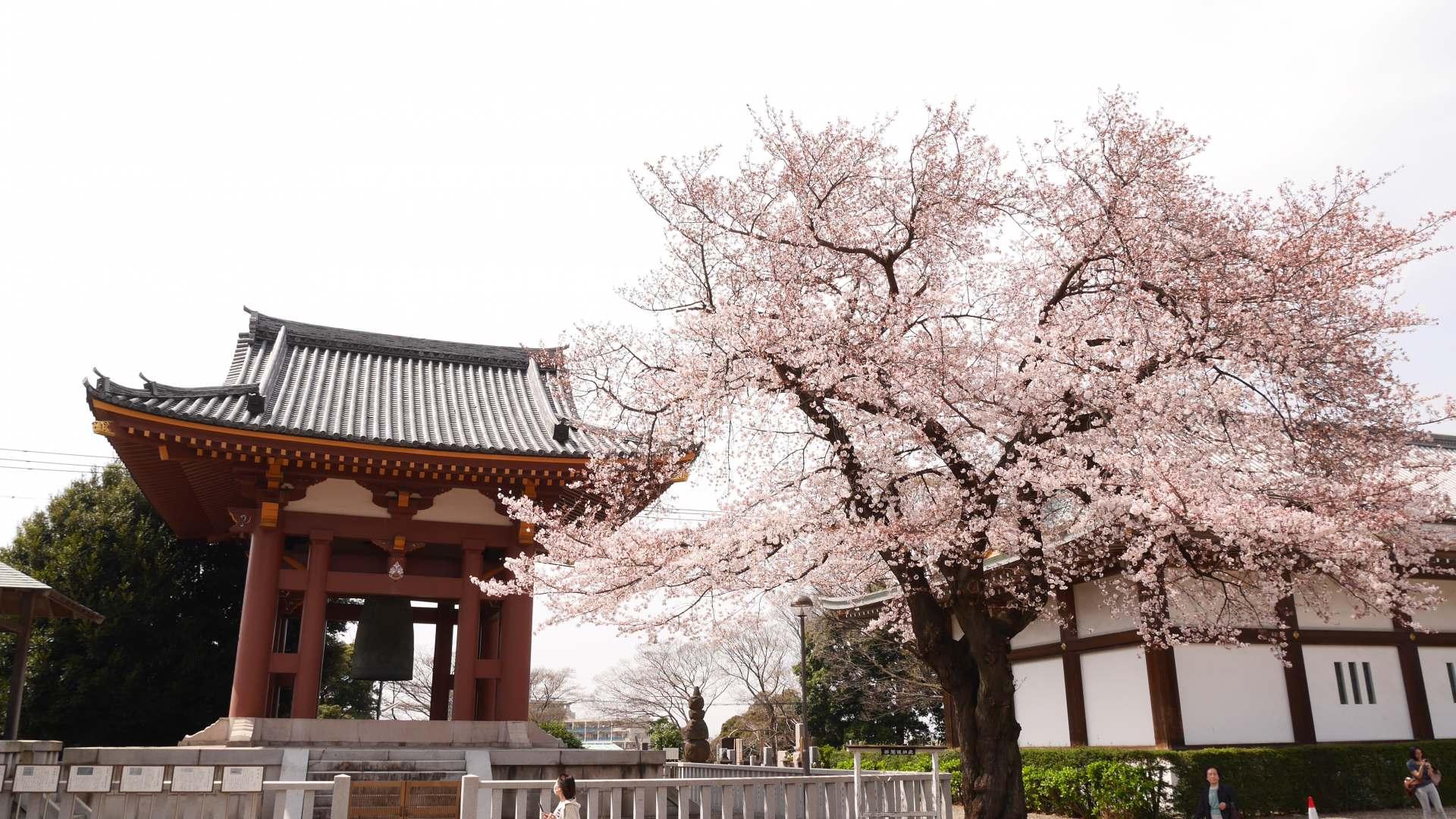 钟楼与樱花树