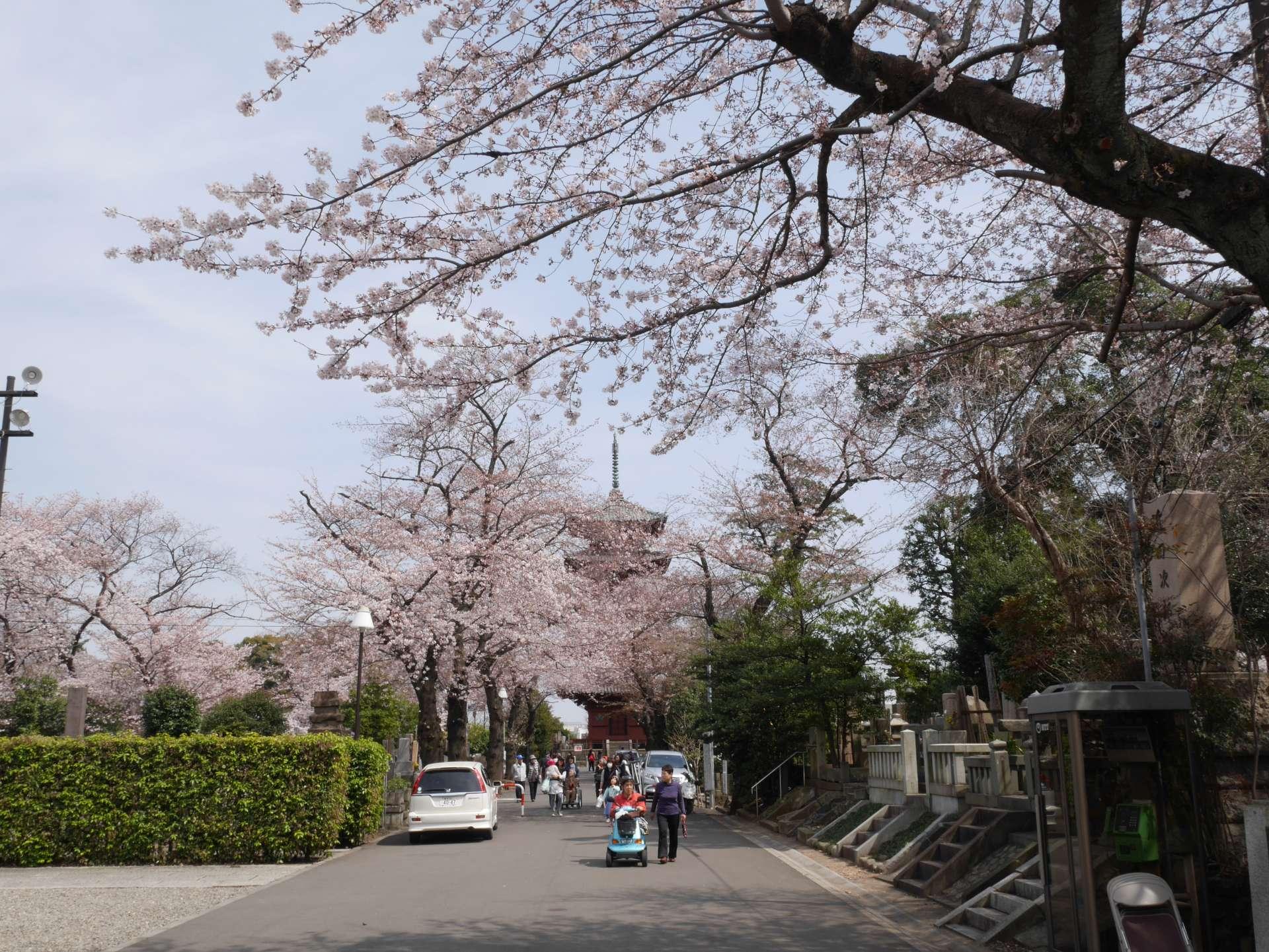 仁王门至五重塔的樱花步道