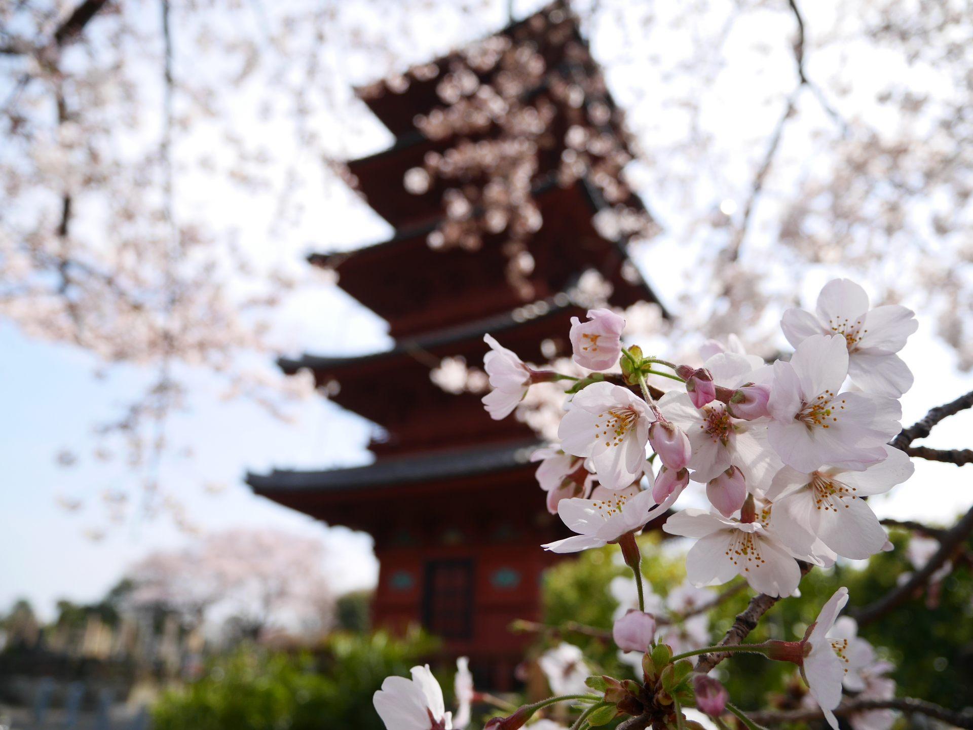 五重塔与樱花