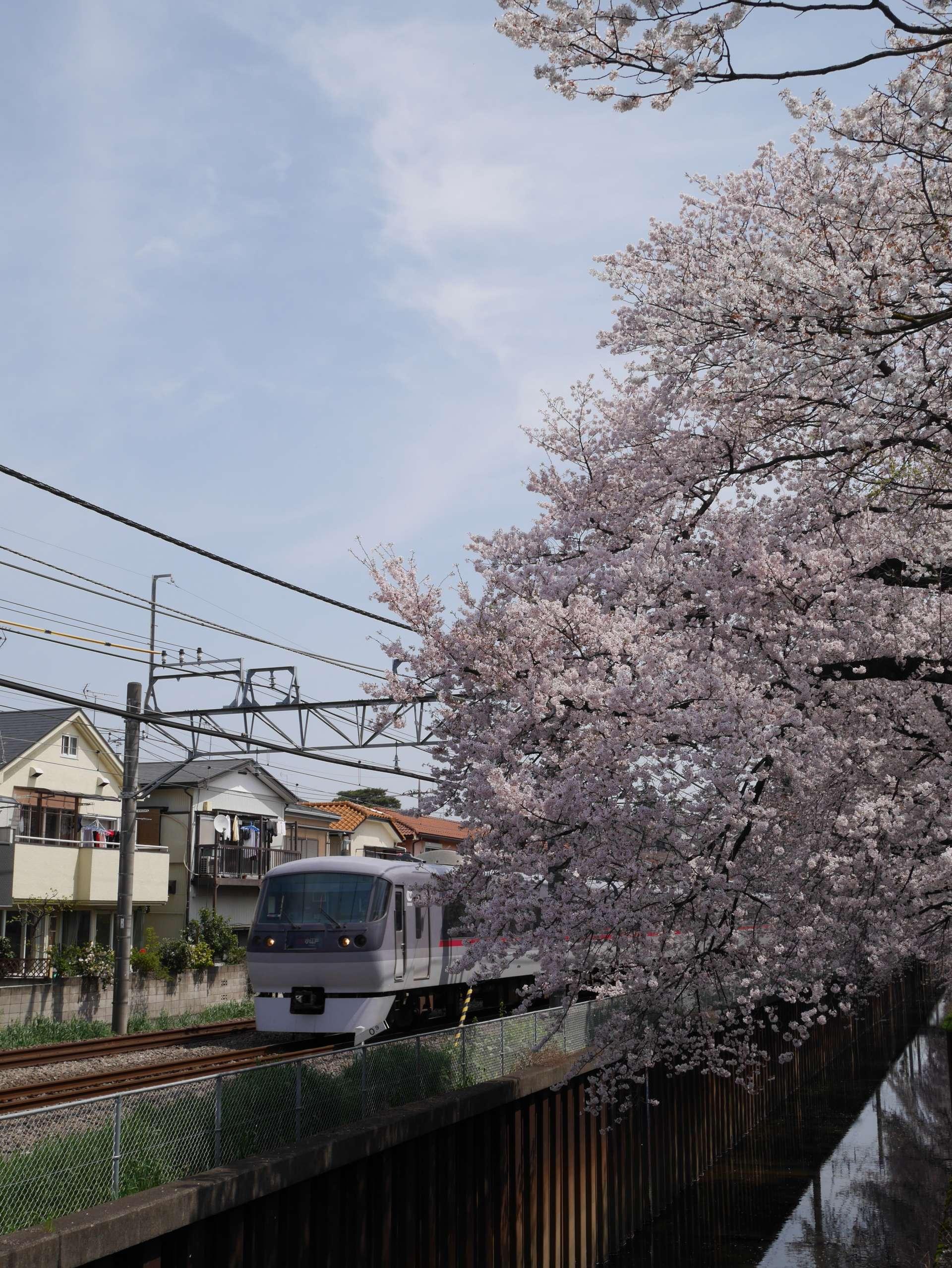 從櫻花牆的空隙間拍攝西武線及櫻花