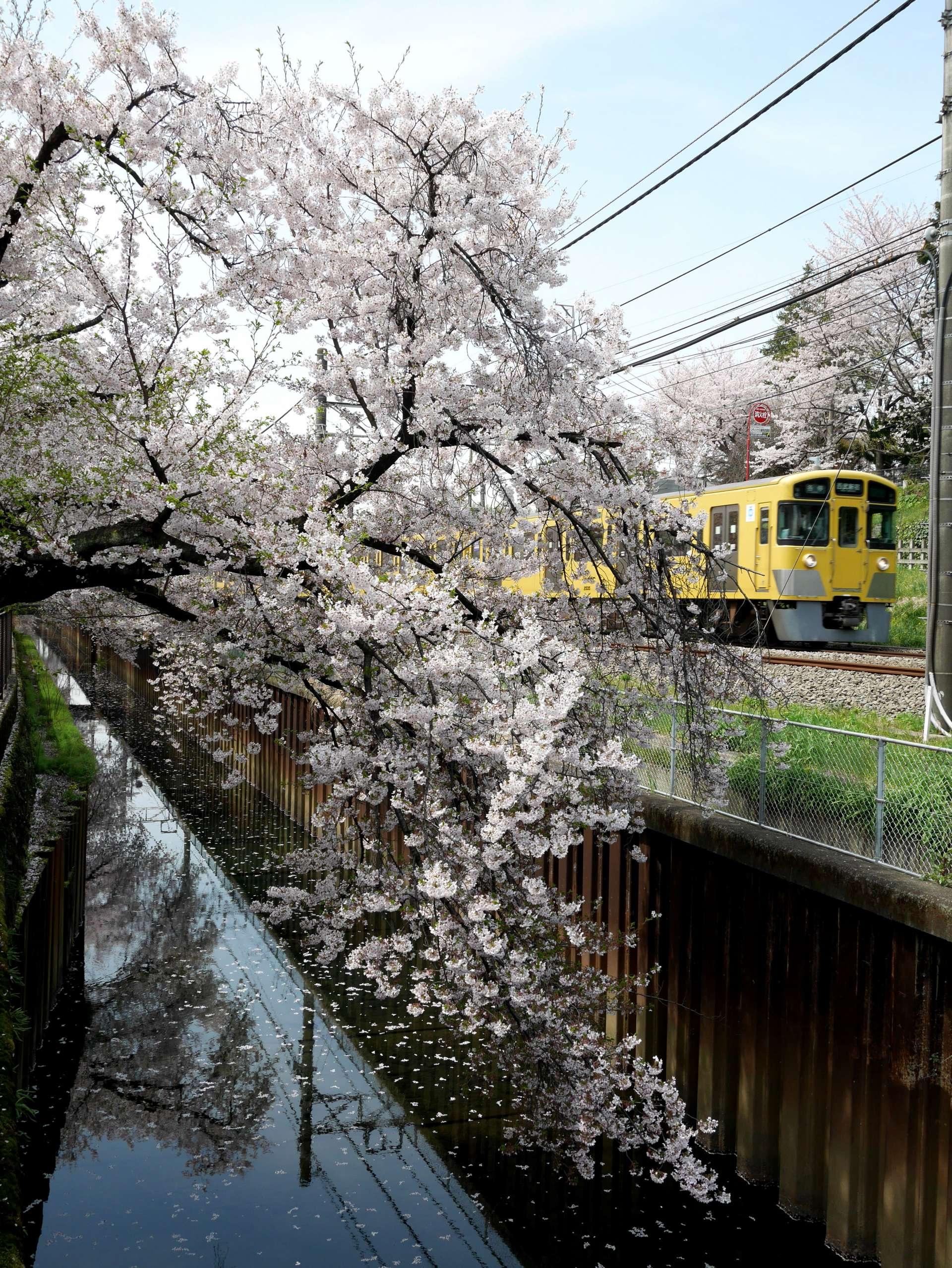 櫻花·小河·火車