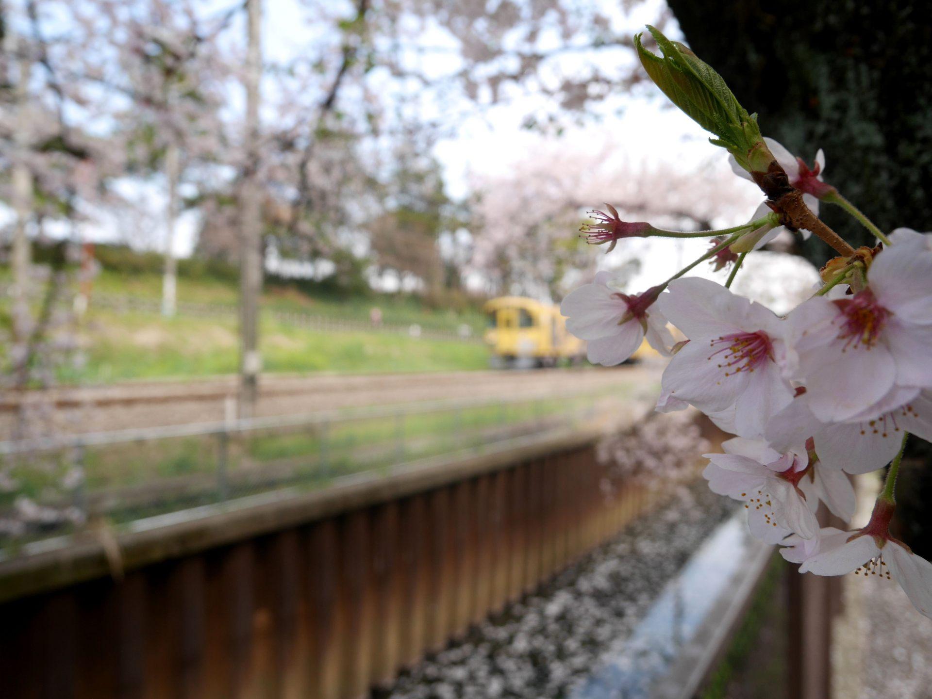 櫻花與西武黃色列車