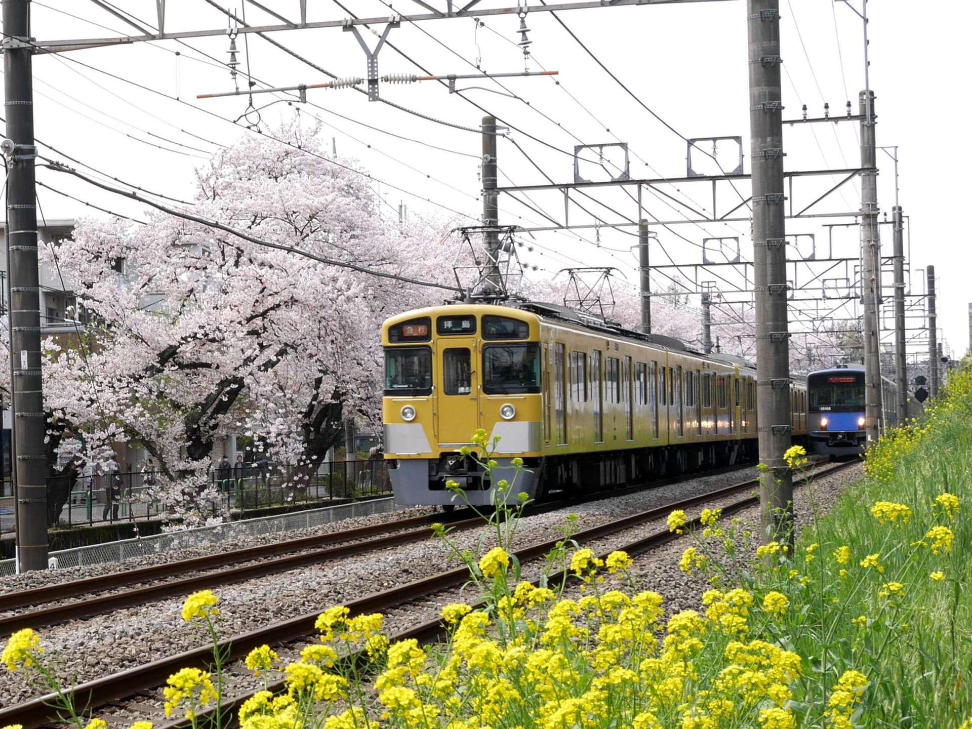 黃色與藍色列車+油菜花和櫻花