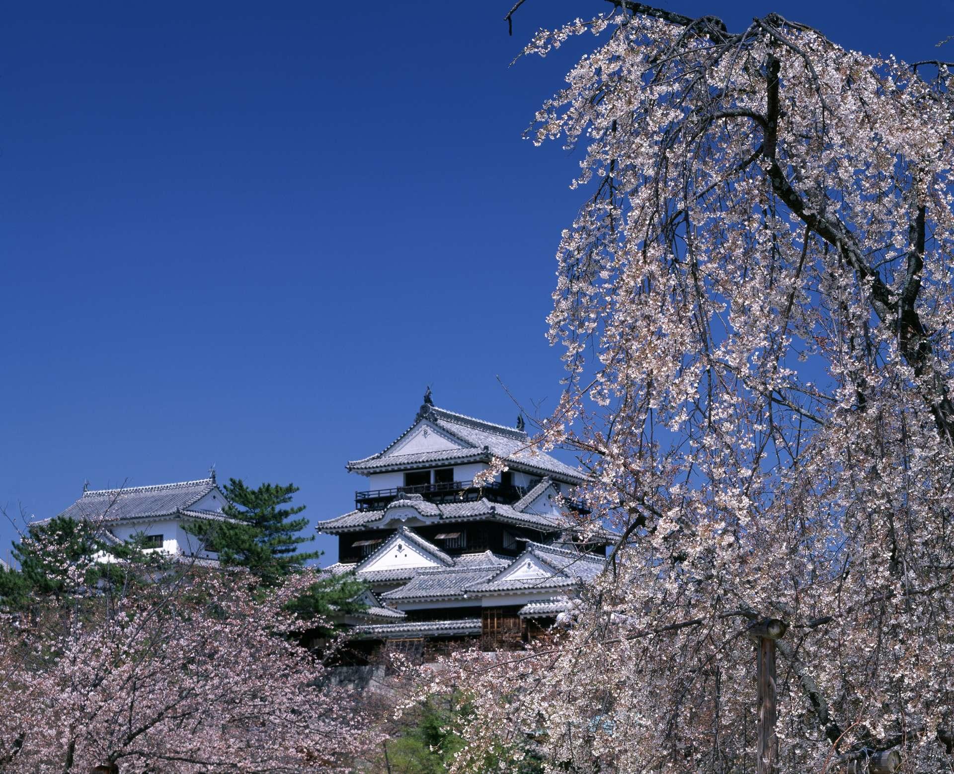 枝垂櫻與松山城