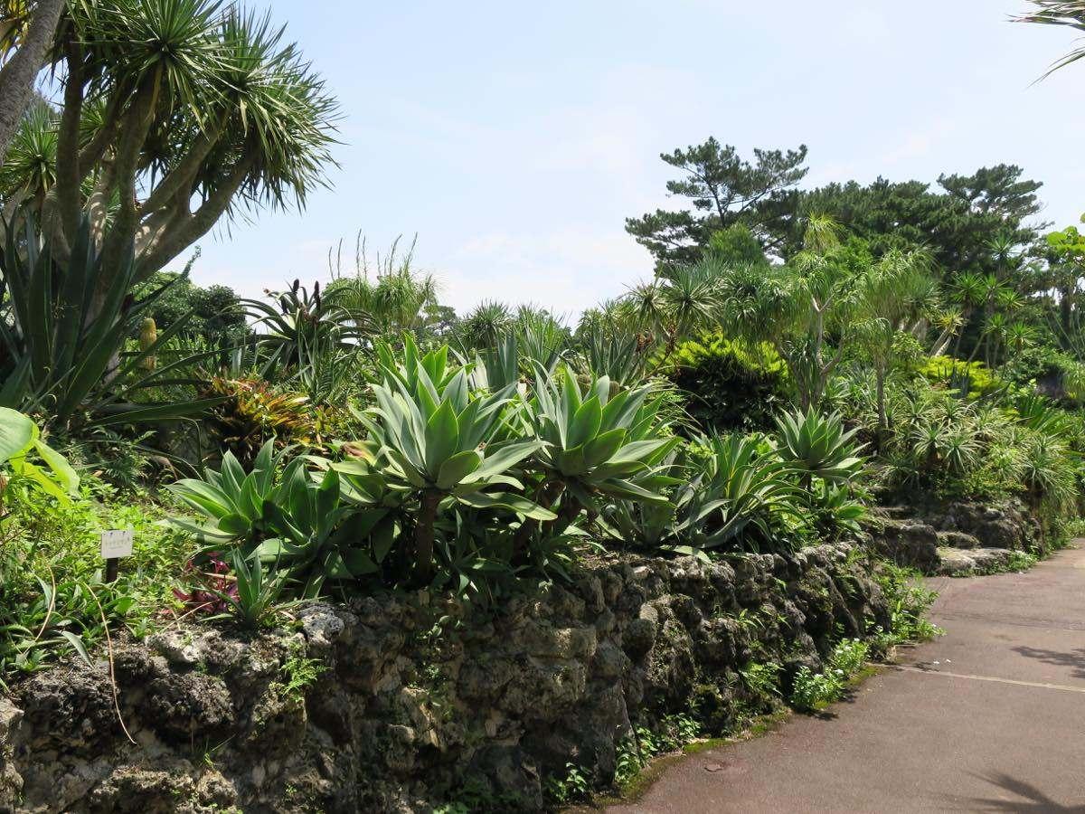 竜血樹(照片左上)