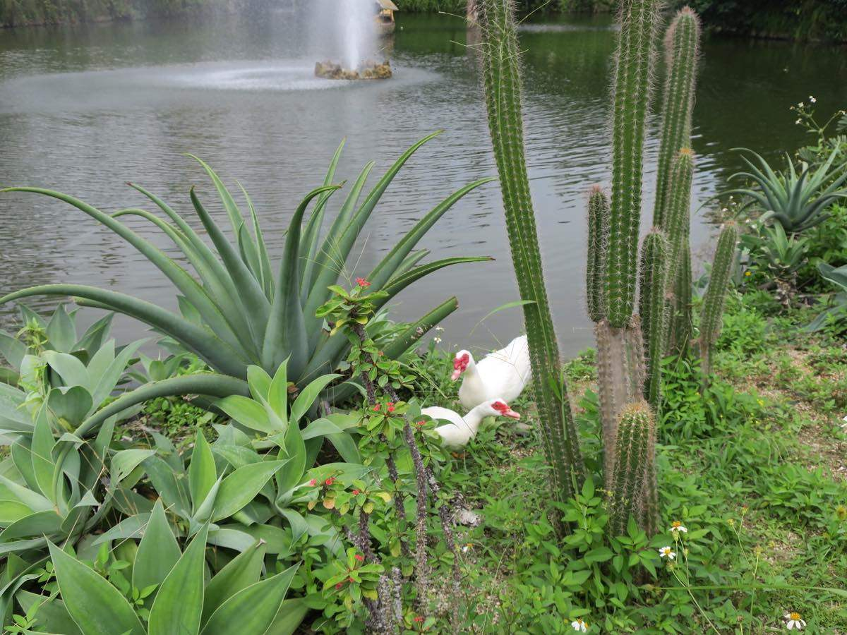 番鴨和水池