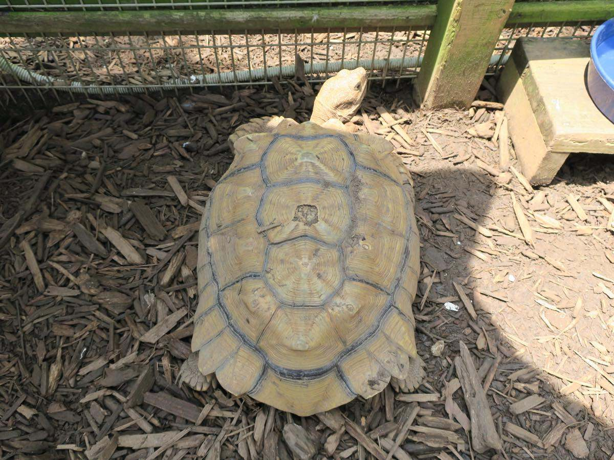 An African spurred tortoise