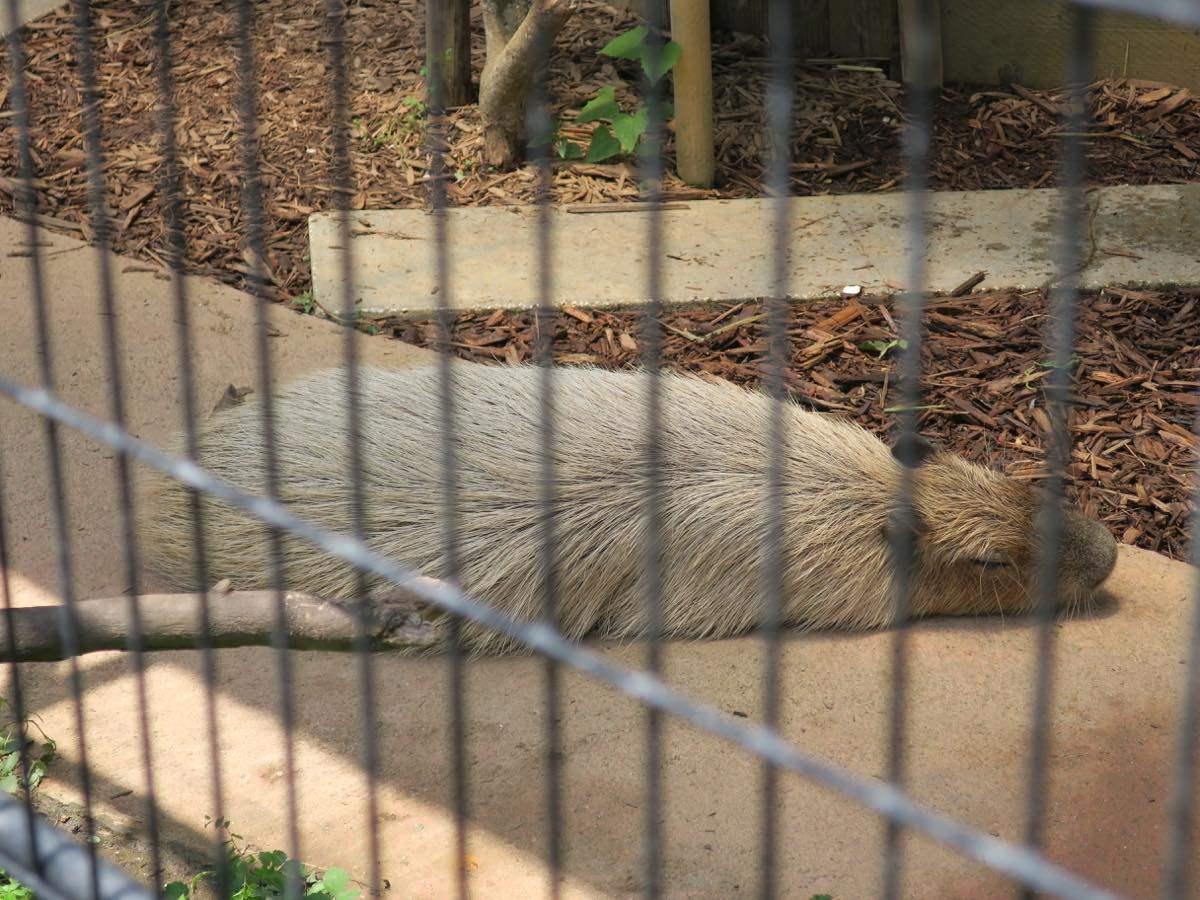 A capybara taking a rest