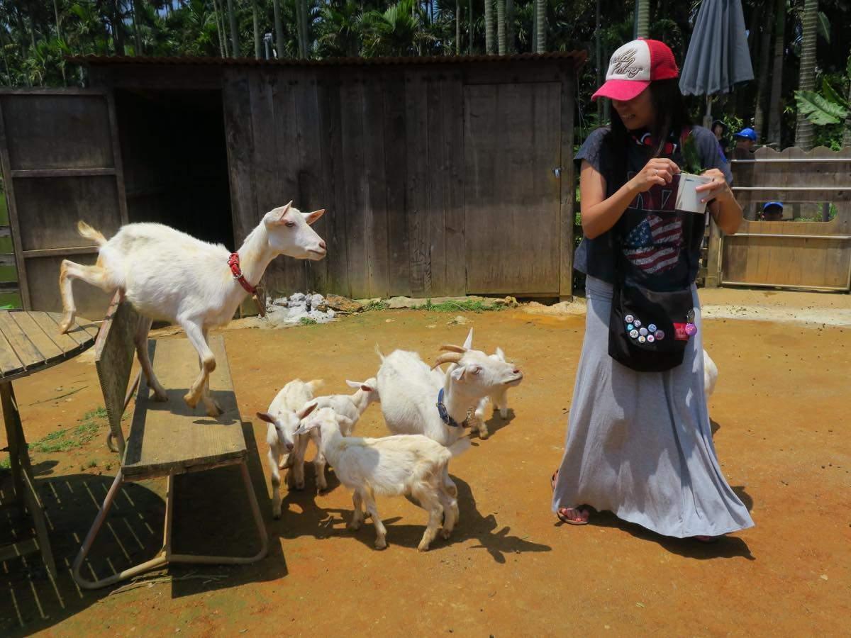 給山羊們餵食