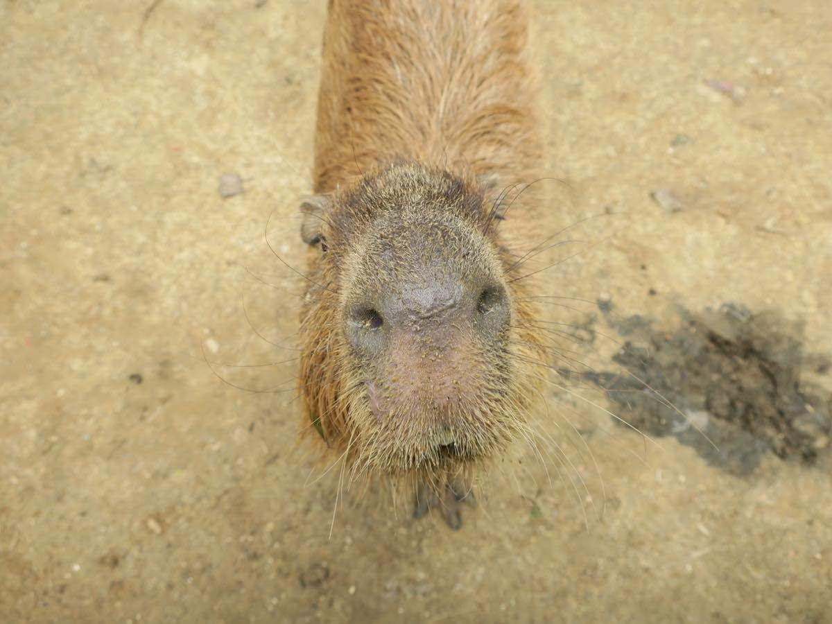 可愛的水豚