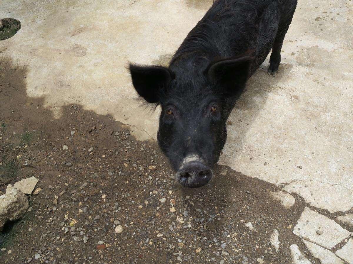 沖繩特有品種Agu豬