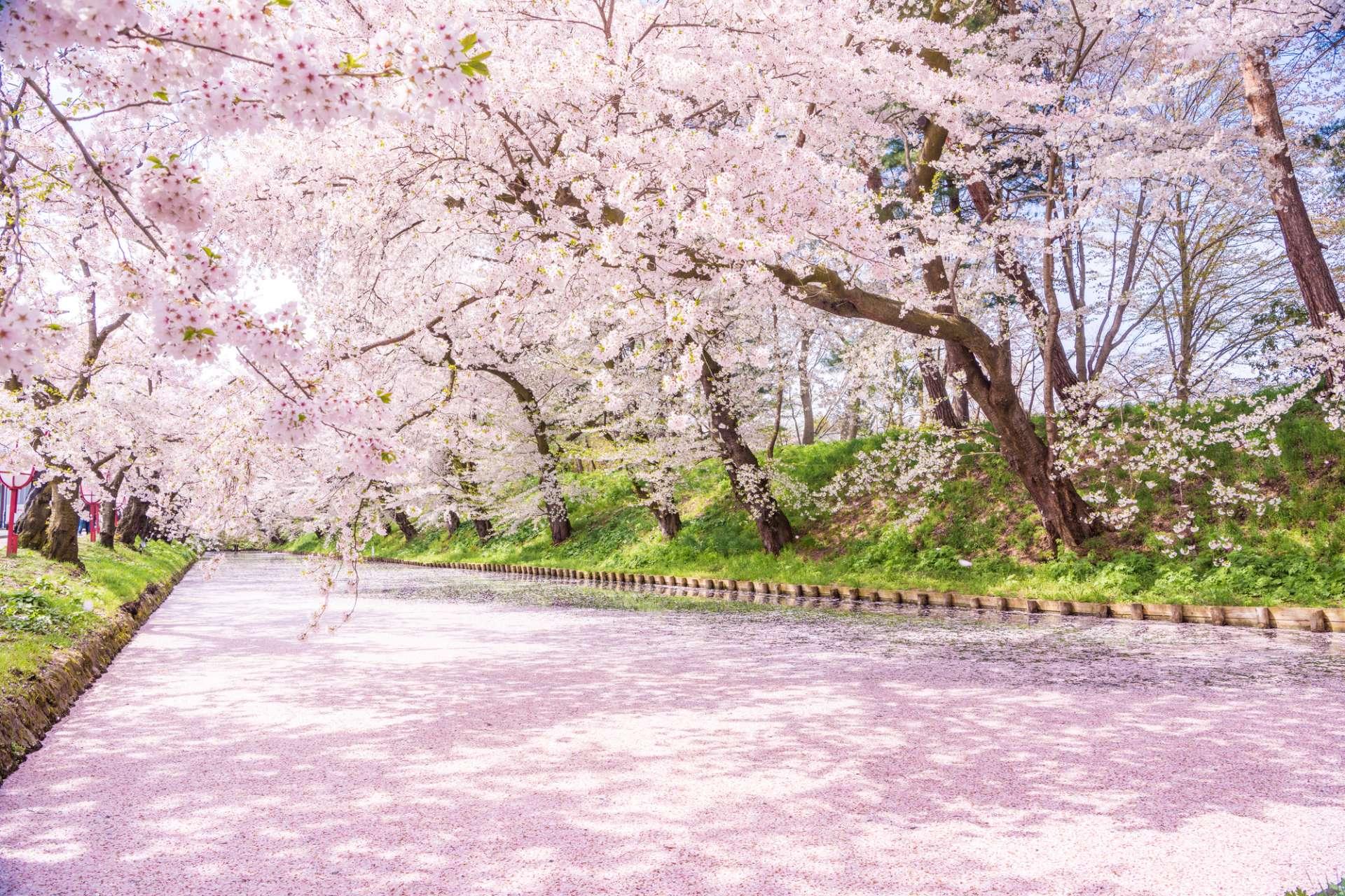 护城河宛如粉色的「花筏子」