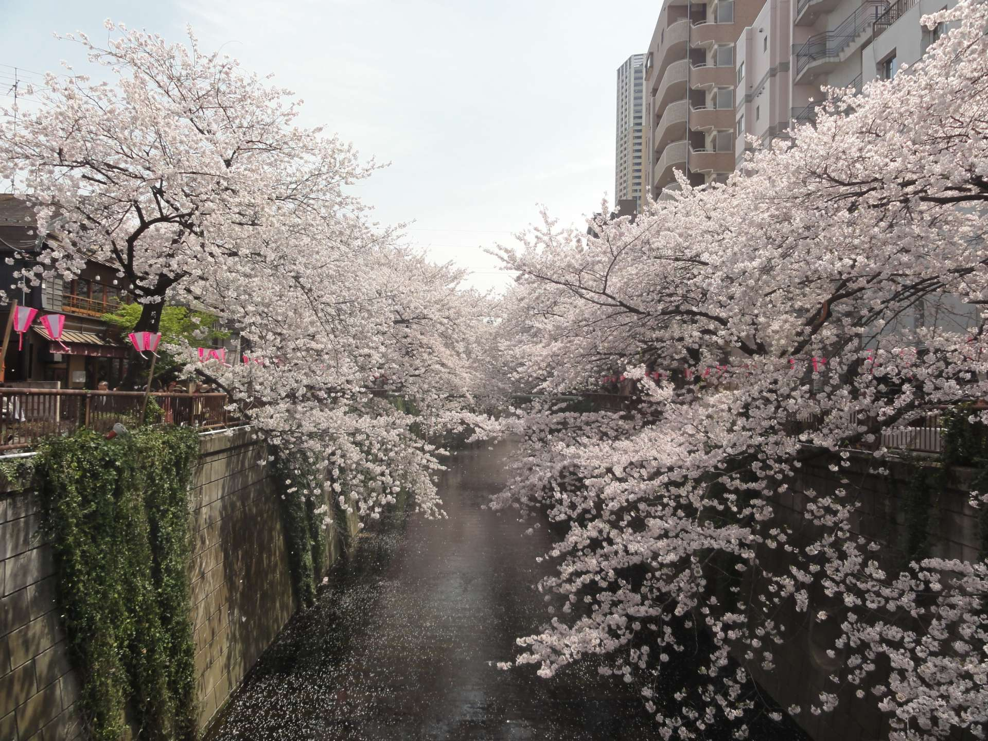 Cherry blossoms along the Meguro River, a natural tunnel of cherry blossoms on a river