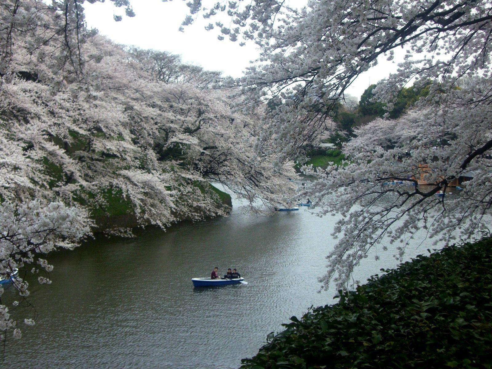 東京最不可錯過的賞櫻景點:千鳥淵