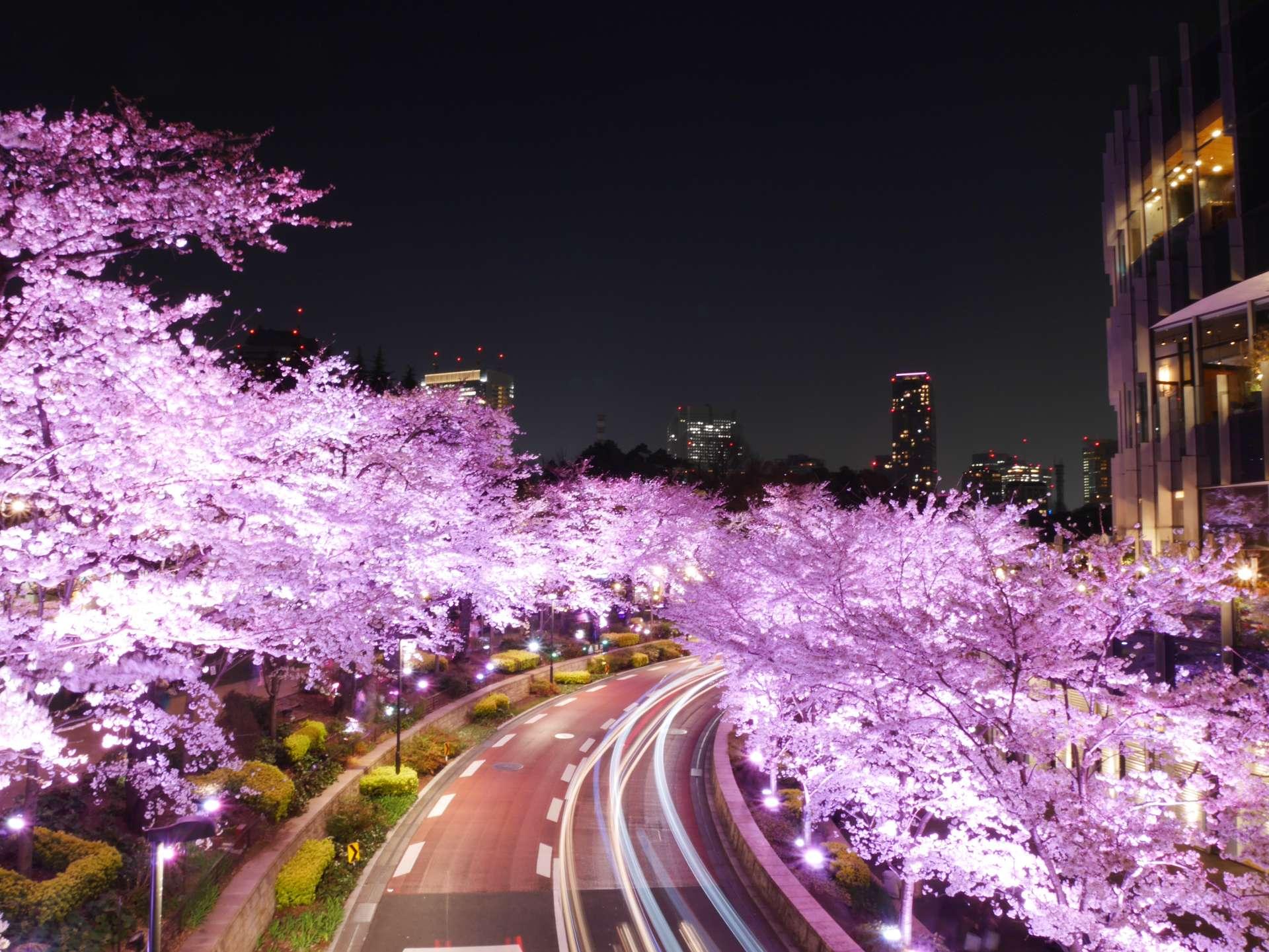 六本木Midtown之櫻花