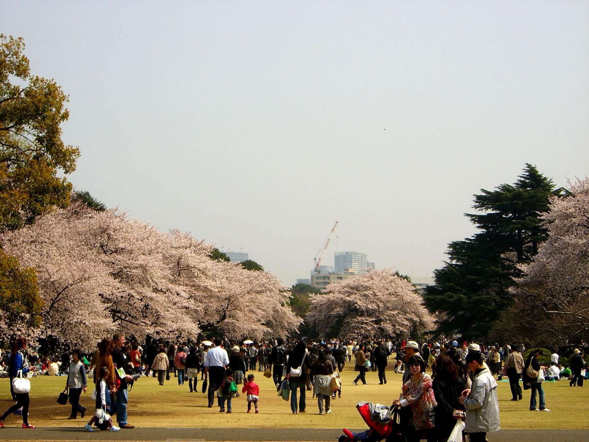 人們在遼闊的草坪廣場、櫻花樹下賞花