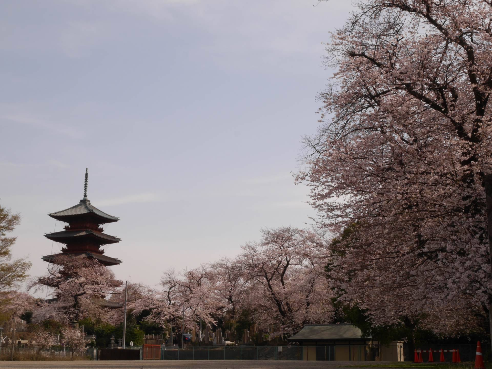 Scenic view of a five-storied pagoda embraced by cherry blossoms