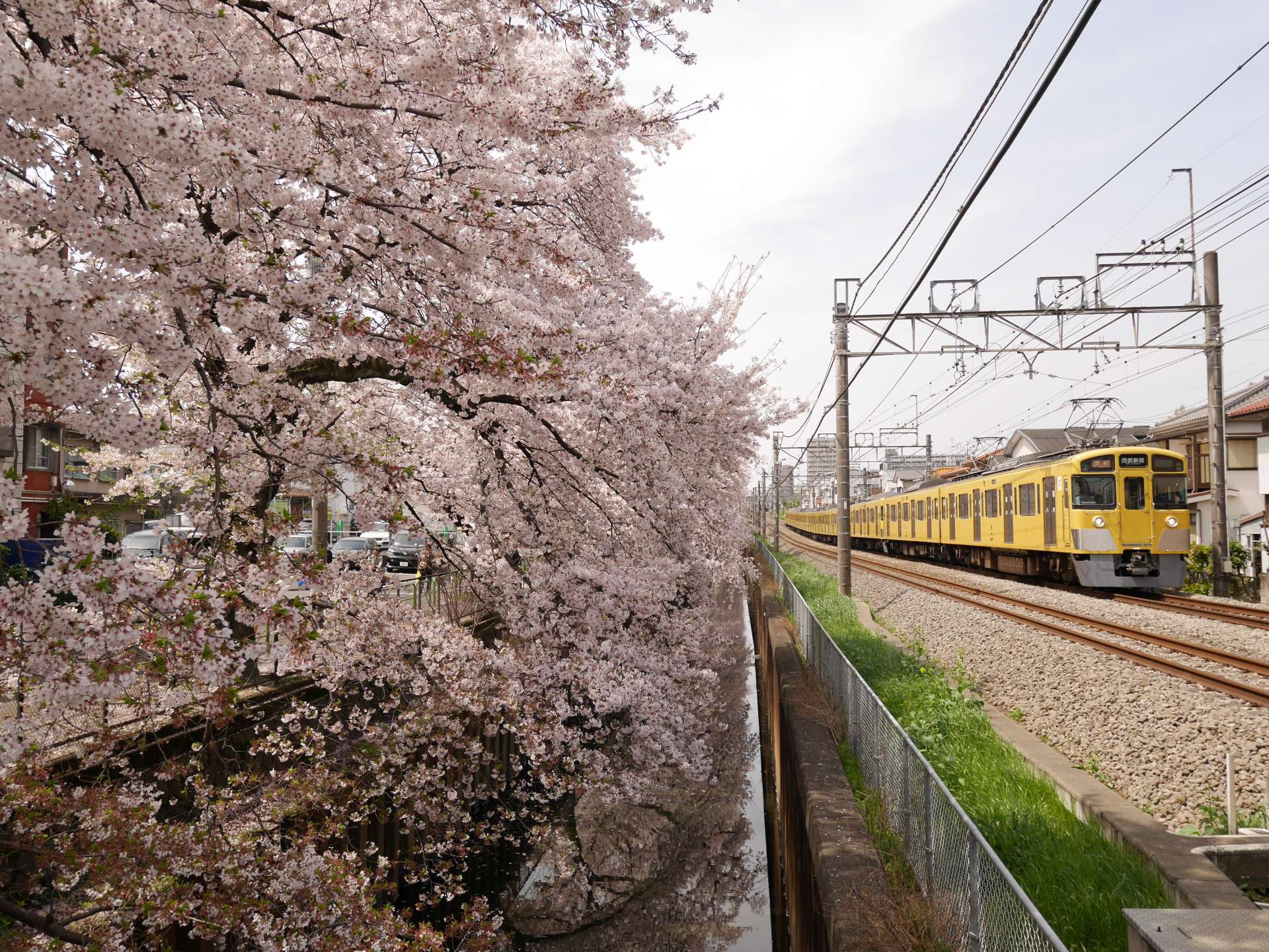 Charming scenery of trains passing cherry blossoms