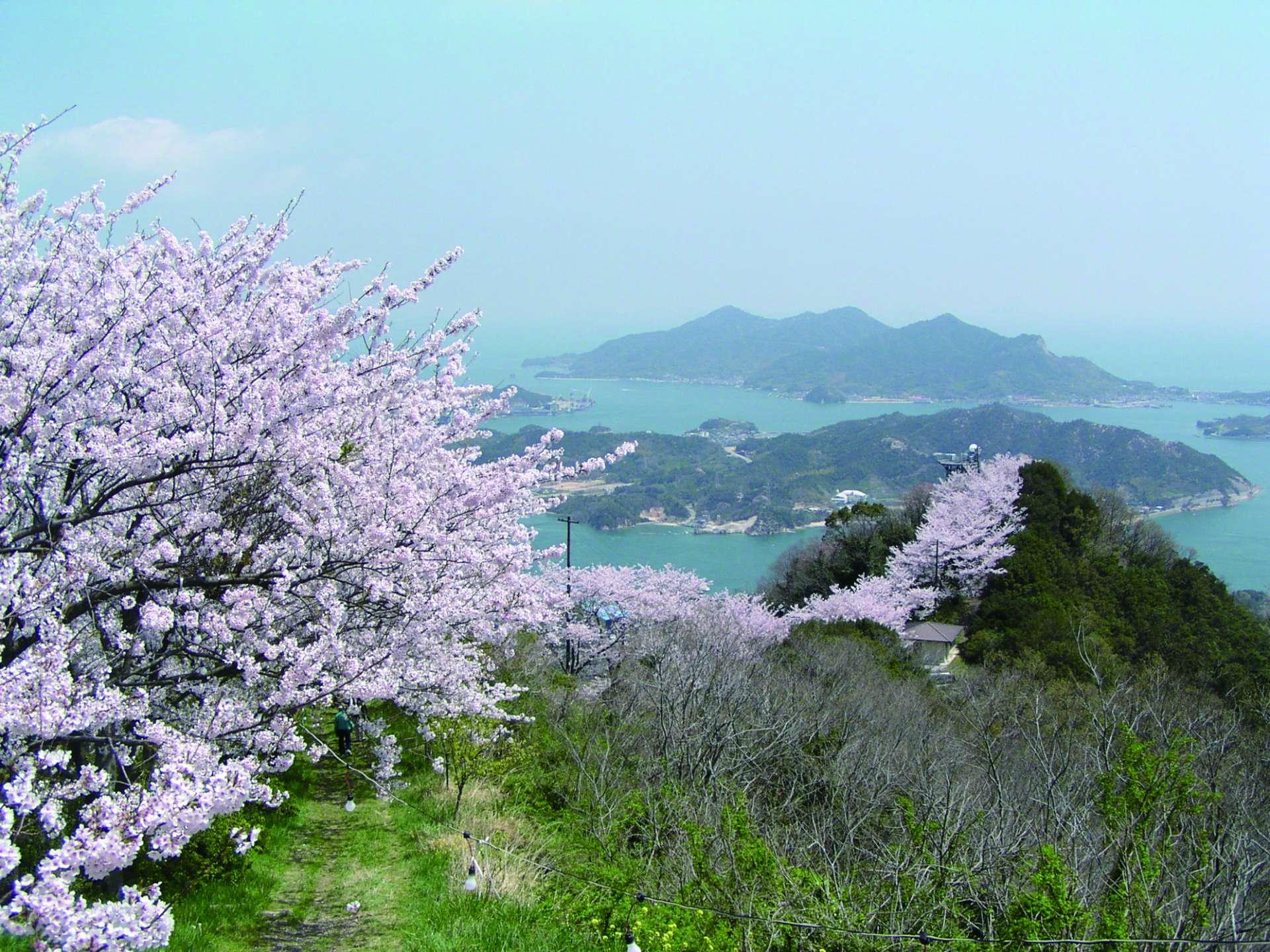 3000株的櫻並木,積善山