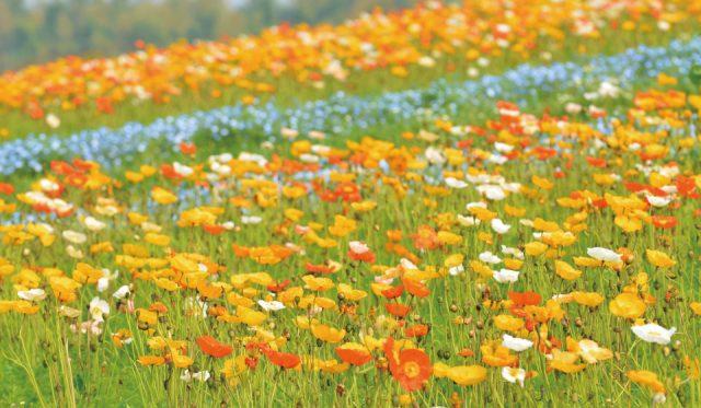 4月上旬~5月上旬舉辦的「罌粟博覽會」