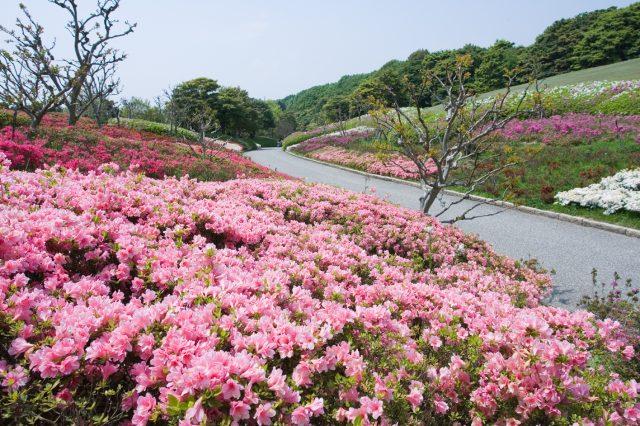 4月下旬~5月上旬為杜鵑花的賞花期