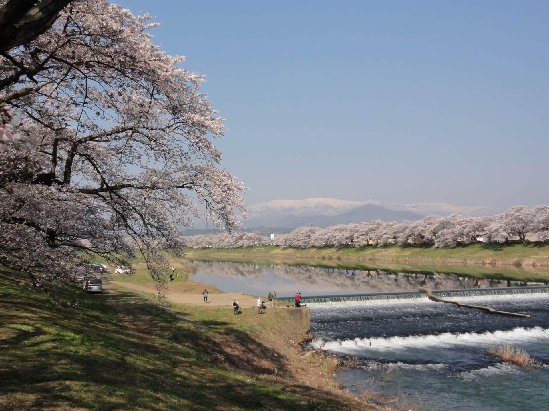 宫城赏樱:白石川堤