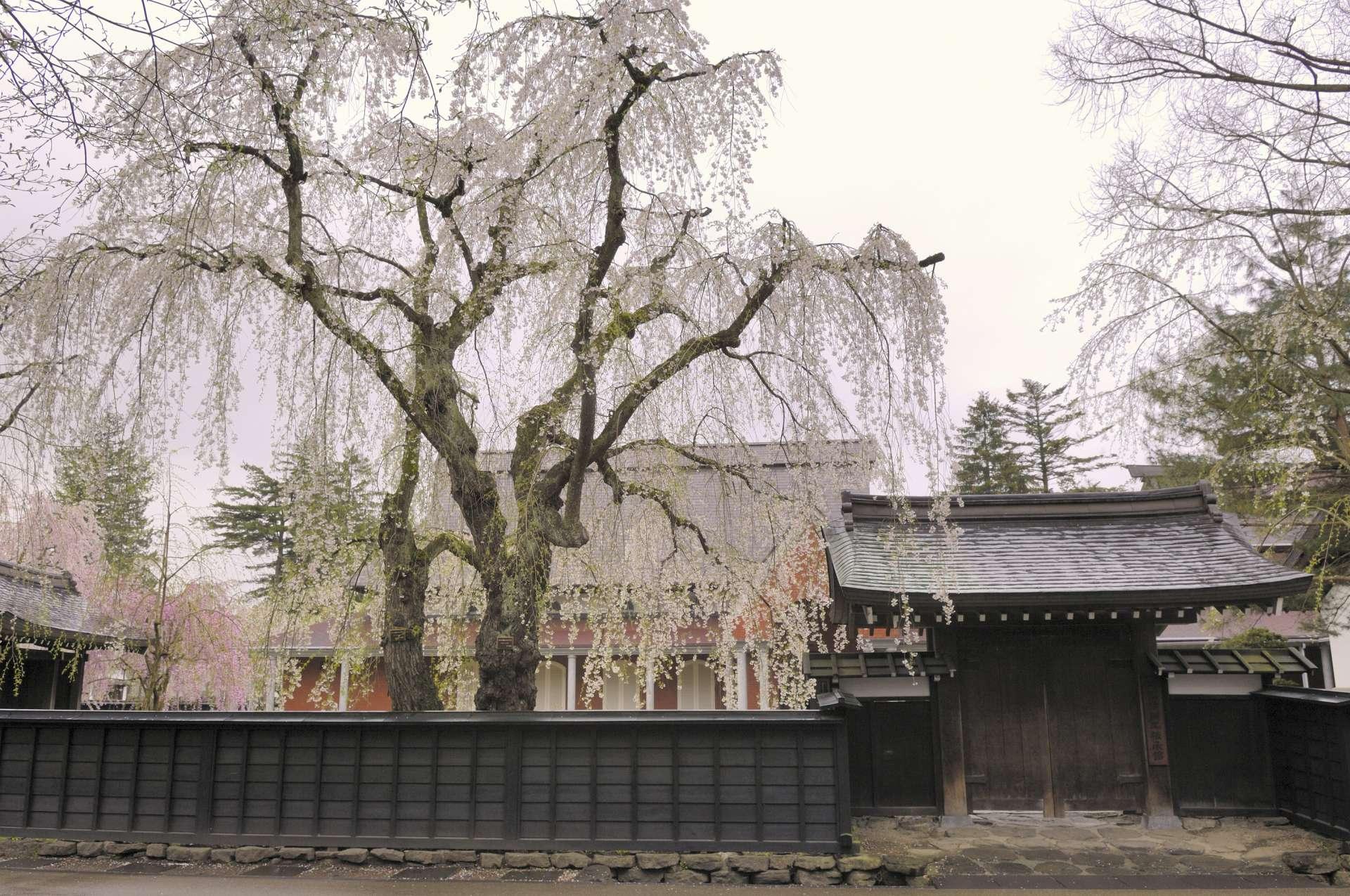 Hanami in Akita: Kakunodate