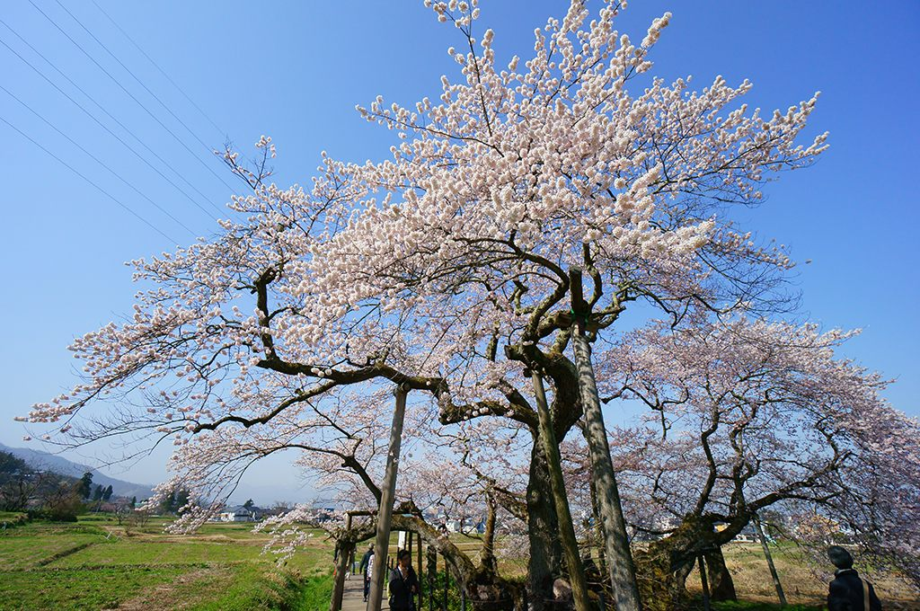 The large double-weeping rosebud cherry tree