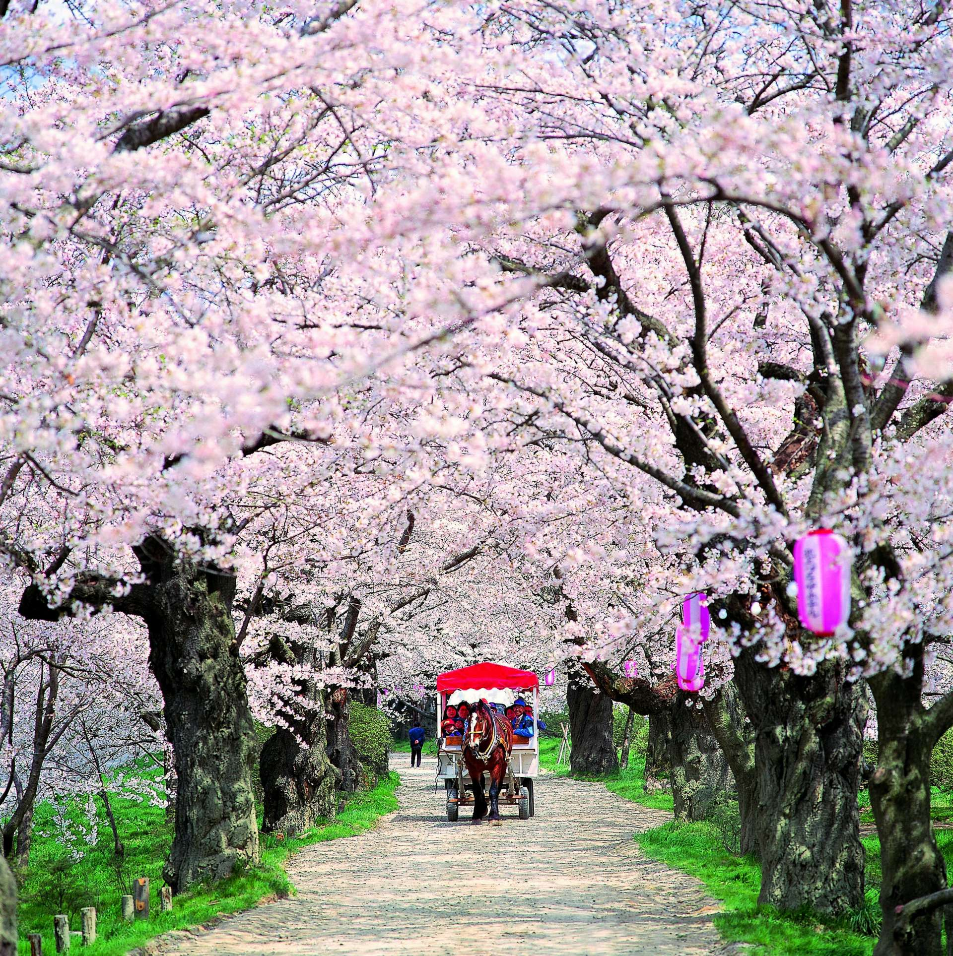 A horse-drawn cart traverses the tunnel of cherry blossoms and a charming punt crosses the Kitakami River