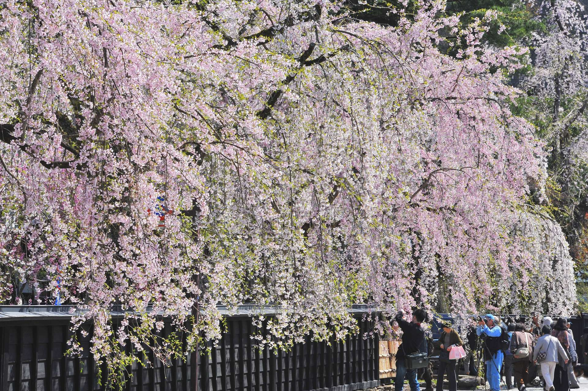 The profusion of weeping cherry trees in Kakunodate