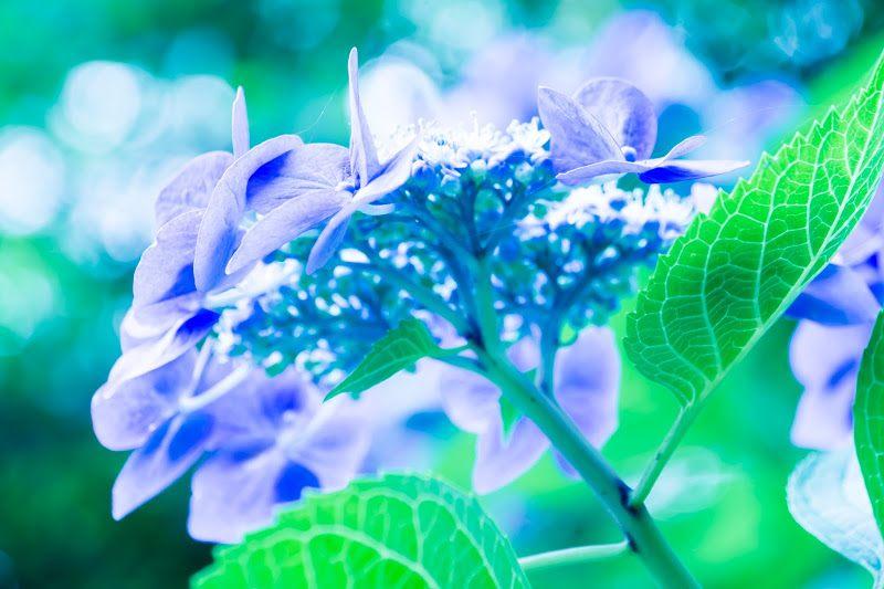 亮色調下的紫陽花